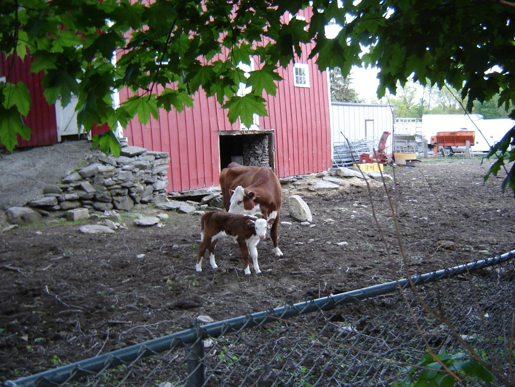 Calf dsc04860 from New Neighbor GallaghersArt_calf_dsc04860.jpg